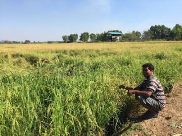 Giới chức Thái Lan 'khó chịu' vì nông dân ưa chuộng lúa thơm Việt Nam