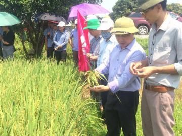 Giống lúa chất lượng Đài thơm 8 chính thức được công nhận tại miền Bắc