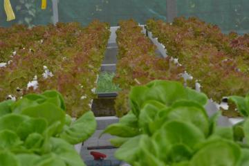 Sản xuất rau an toàn công nghệ cao gắn với liên kết tiêu thụ sản phẩm