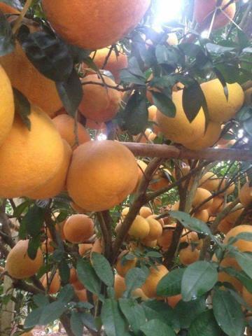Nông đặc sản Hòa Bình - Bưởi Đào đường Tân Lạc