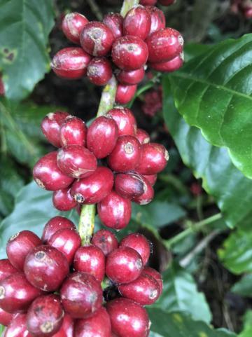 BAMIFARM - Chi hội cà phê Krong's Zava